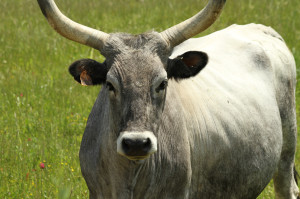 chianina cow, typical for Tuscany